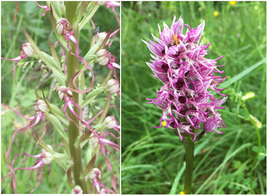 An Adriatic lizard orchid Himantoglossumadriaticum on the left and a monkey orchid Orchissimia on the right, both along the roadside in the village of Lippiano.