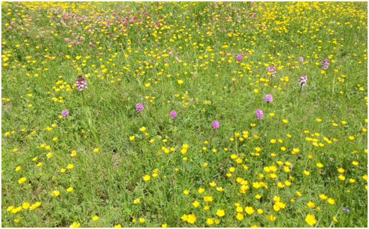 Orchid and flower filled meadows on the Camino di Francesco